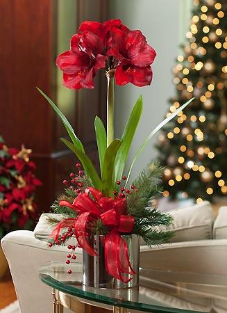 Amaryllis belle plante de noel diy