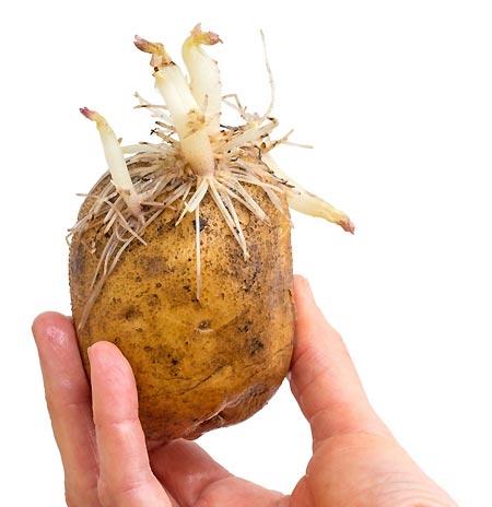 Germes de pommes de terre